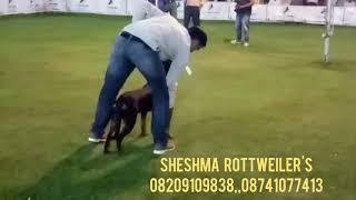 "ROTTWEILER female nice perform by ""SHESHMA'S  GABY"" in jaipur show-4/11/2018"