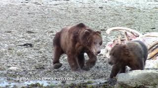Female Grizzly Bear Spins Out of Death-grip- нести