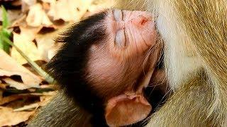 Congratulation Female Monkey April Good Healthy, New Baby Monkey Alexandra Was Growing Up Quick