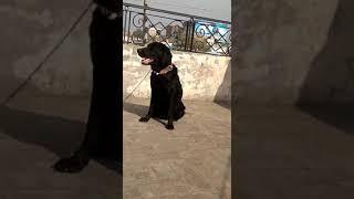 Show quality Labrador female