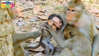 So poor David female Daisy catch baby out from mom milk | Baby hungry cry loudly | Monkey Daily 2594