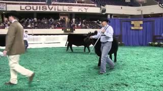 2013 NAILE: Angus Female Show