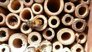 solitary bee UK helping female out its nest tube