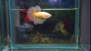 SHOW GRADE BETTA FISH YELLOW HALFMOON FEMALE
