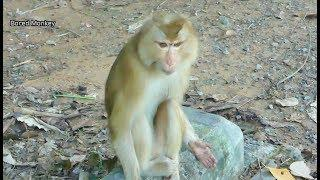 Poor pigtail female monkey just got freedom by owner in Carbzillar Group,She look nervous&scare