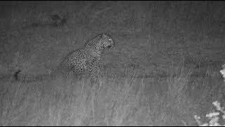 Djuma: Leopard-Thandi female-Pt:3-comes out from behind bush - 21:55 - 10/03/19