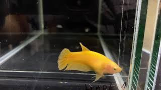 Hmpk1  female yellow solid 100 pln.(sold out)