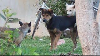SummerDogs!! Lancashire Heeler Vs Australian Terrier Dog Female in Middle Khnar Village