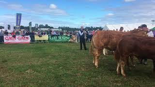Irish Limousin Tullamore National show 2018 Female Championship