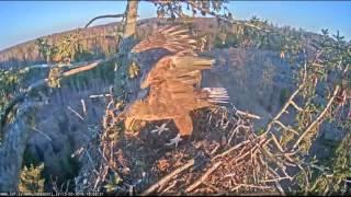 2016 03 13 18h02m juras erglis female out  strange eagle arrives  male