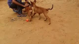 Show quality Belgium malinos male and female puppies for sale in Delhi Dwarka call 9 2125 01257