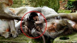 Female Monkeys Dragging newborn baby out From Mummy While nursing baby