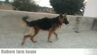 Show quality gsd female 6month old