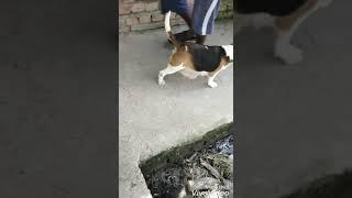 Show quality beagle female 20 mnt .sale in ambala 16000