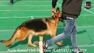 KARNAL DOG SHOW || GERMAN SHEPHERD FEMALE || CC RING || 19-20 JAN.2019 || DOG SHOWS || KCI || GSD ||
