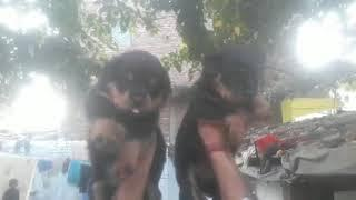Show quality Rottweiler female for sell Baba pet shop kanpur Aman gupta *7844858520