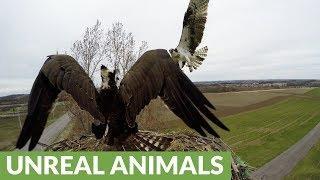 Osprey viciously attacks another osprey over nesting site
