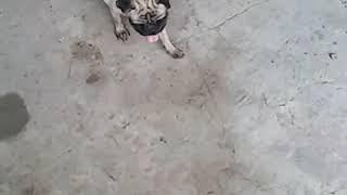 Pug adult female sell show quality 7248629615
