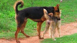 German Shepherd Mix Meeting Berger Picard Female Dog Near Pig Farm In Raining Season #139