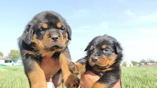 Rottweiler  Female puppy 6000 (Pet Quality)vs 15000 (Show Quality)... Doggyz World