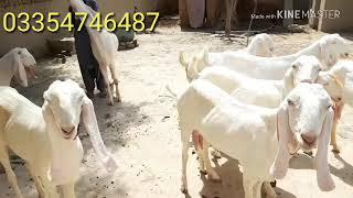 1 breeder 15 bakriya 30 chote bache male or female is video mein hai pure rajanpuri for sale