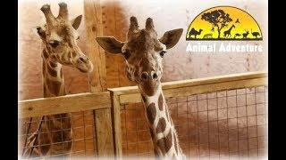 April the Giraffe Cam - Animal Adventure Park