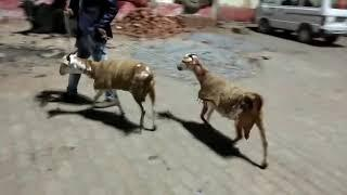 Pregnant spotted Barabari female joda SOLD OUT, R.K Brother Goats Farm Etawah U.P, Wts No-8057106851