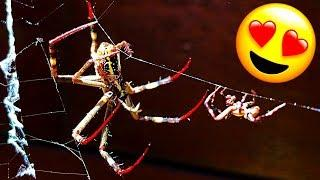 St Andrew's Cross Spiders Mating Fight 1 Female 2 Males EDUCATIONAL VIDEO