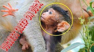 Baby Monkey Duke Too Heavy, Female Monkey Duchess Should Not Sleep On Baby Monkey Duke
