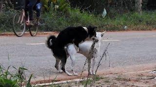 RuralDogs!!!!! Cambodian Canaan Dog Meeting Female Dogs On Street