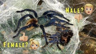 """Please DON'T be a MALE !!!"" (Why I ALWAYS want FEMALE tarantulas) Q&A"