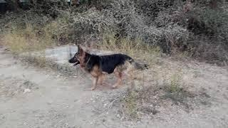 Show Quality German Shepherd female in Gwalior 7999155851