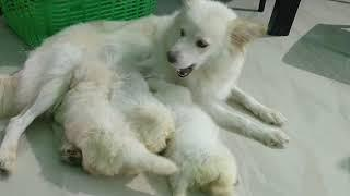 ARM Dog Kennel : Show Quality Pomeranian Female Puppies Available For Sale Contact 7775051999