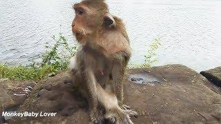 Jollyrol Become Skinny Female Monkey After Cute Baby Tito Lost
