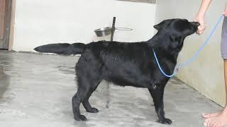 Show quality labrador female in india