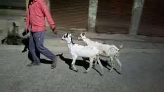 Barbari female ka joda Sold Out मुम्बई बांद्रा, R.K BROTHER GOATS FARM ETAWAH U.P, Whatsap8057106851