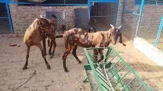 (Sold out)Female sirohi jodi for sale in Asansol (7797556643)