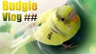 FEMALE Budgie  turns out to be MALE Budgie | Budgie Vlog ##