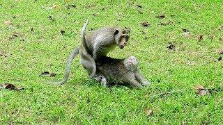 MG, Why Leader Monkey Mistreat Female Monkey Like This?, Female Monkey No Ways Run Out,