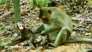 Naughty Female Monkey Tara Stealing Baby Bree / Baby Crying Loudly