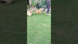 show quality original golden retriever male and female dog puppies for sale in Delhi Dwarka pet sho