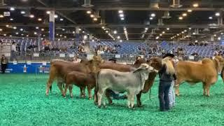 2019 ABBA International Show & Houston Livestock Show and Rodeo - Red&Gray Female Senior Grand Drive