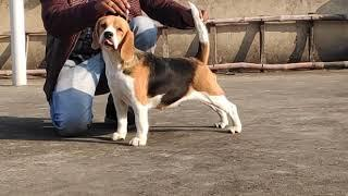 Begale female dog show time starting Dogshub India 9950330009