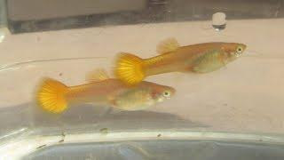 """Surprising Offspring of """"Sterile"""" Female Guppy Now Grown Up and Appearing Fertile"""