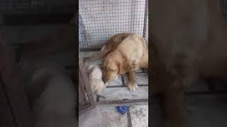 Call 8527699797 for show quality Golden Retriever male female puppies
