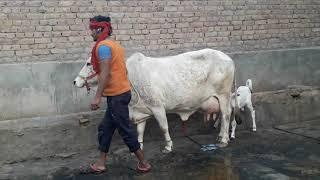 (85) sell out बिक गई)Tharparker cow sell female caff ????Please????Subscribe 9829403357 (sell ho ghi