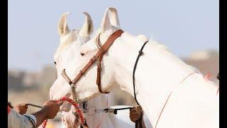 two teeth filly VS उदंत बछेड़ी Nukra horse ring 1 show 2018 sarangkheda Chetak festival