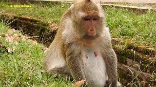 Female Piggy Monkey Maybe Got Pregnant?/Monkey Piggy tired find food on Grass for eat