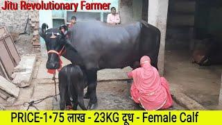 ????FOR SALE - PRICE 1.75 Lakh -Murrah Breed -3rd Lactation - 22KG MILK - Female calf- @BAHADURGARH.