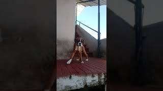 Show Quality Awesome Fawn Boxer Female Available with KCI